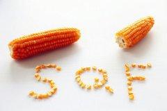 老品种玉米
