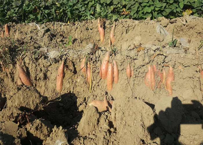 蜜薯到了收货的季节了,